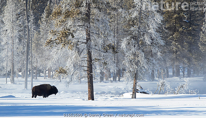 Bison (Bison bison) in snow, at woodland edge with frost covered trees. Yellowstone National Park, USA, January 2020.  ,  Animal,Wildlife,Vertebrate,Mammal,Bovid,Bison,American Bison,American,Animalia,Animal,Wildlife,Vertebrate,Mammalia,Mammal,Artiodactyla,Even-toed ungulates,Bovidae,Bovid,ruminantia,Ruminant,Bison,Bison bison,American Bison,American buffalo,North America,USA,Western USA,Snow,Weather,Frost,Landscape,Winter,Woodland,Cold Weather,Reserve,Forest,Protected area,National Park,Yellowstone National Park,American,United States of America,  ,  Danny Green