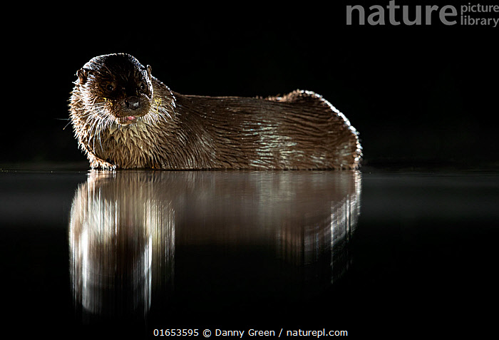 European river otter (Lutra lutra) reflected in water at night. Lincolnshire, England, UK. July.  ,  Animal,Wildlife,Vertebrate,Mammal,Carnivore,Mustelid,River otter,Common Otter,Animalia,Animal,Wildlife,Vertebrate,Mammalia,Mammal,Carnivora,Carnivore,Mustelidae,Mustelid,Lutra,River otter,Lutra lutra,Common Otter,Eurasian Otter,European Otter,European River Otter,Old World Otter,Europe,Western Europe,UK,Great Britain,England,Lincolnshire,Reflection,Night,Freshwater,Water,  ,  Danny Green