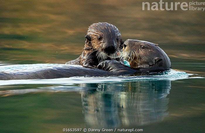 Sea otter (Enhydra lutris) female and pup. Alaska, USA, February.  ,  Animal,Wildlife,Vertebrate,Mammal,Carnivore,Mustelid,Sea otter,Sea Otter,American,Animalia,Animal,Wildlife,Vertebrate,Mammalia,Mammal,Carnivora,Carnivore,Mustelidae,Mustelid,Enhydra,Sea otter,Enhydra lutris,Sea Otter,Two,North America,USA,Western USA,Alaska,Young Animal,Baby,Baby Mammal,Pup,Pups,Reflection,Ocean,Pacific Ocean,Marine,Water Surface,Water,Temperate,Family,Mother baby,Saltwater,Mother,Two animals,Parent baby,American,United States of America,Endangered species,threatened,Endangered  ,  Danny Green