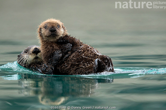 Sea otter (Enhydra lutris) female and pup playing. Alaska, USA, February.  ,  Animal,Wildlife,Vertebrate,Mammal,Carnivore,Mustelid,Sea otter,Sea Otter,American,Animalia,Animal,Wildlife,Vertebrate,Mammalia,Mammal,Carnivora,Carnivore,Mustelidae,Mustelid,Enhydra,Sea otter,Enhydra lutris,Sea Otter,Floating,Cute,Adorable,Two,North America,USA,Western USA,Alaska,Young Animal,Baby,Baby Mammal,Pup,Pups,Reflection,Ocean,Pacific Ocean,Marine,Water Surface,Water,Animal Behaviour,Playing,Temperate,Family,Mother baby,Behaviour,Saltwater,Mother,Play,Playful,Eye contact,Two animals,Direct Gaze,Parent baby,American,United States of America,Behavioural,Looking,Endangered species,threatened,Endangered  ,  Danny Green