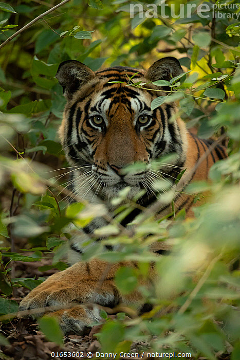 Bengal tiger (Panthera tigris tigris) male resting in undergrowth, portrait. Bandhavgarh National Park, India, December.  ,  Animal,Wildlife,Vertebrate,Mammal,Carnivore,Cat,Big cat,Tiger,Bengal tiger,Animalia,Animal,Wildlife,Vertebrate,Mammalia,Mammal,Carnivora,Carnivore,Felidae,Cat,Panthera,Big cat,Panthera tigris,Tiger,Felis tigris,Tigris striatus,Tigris regalis,Lying down,Resting,Rest,Asia,Indian Subcontinent,India,Portrait,Male Animal,Reserve,Bengal tiger,Indian tiger,Protected area,National Park,Eye contact,Direct Gaze,Madhya Pradesh,Bandhavgarh National Park,Looking,Endangered species,threatened,Endangered  ,  Danny Green
