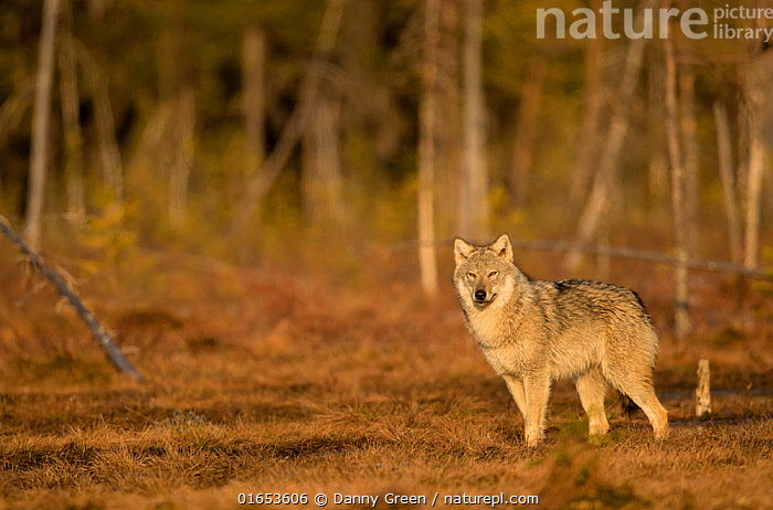 Wolf (Canis lupus) standing at woodland edge. Finland, April.  ,  Animal,Wildlife,Vertebrate,Mammal,Carnivore,Canid,Grey Wolf,Animalia,Animal,Wildlife,Vertebrate,Mammalia,Mammal,Carnivora,Carnivore,Canidae,Canid,Canis,Canis lupus,Grey Wolf,Common Wolf,Wolf,Colour,Brown,Europe,Northern Europe,North Europe,Nordic Countries,Finland,Autumn,Woodland,Forest,  ,  Danny Green