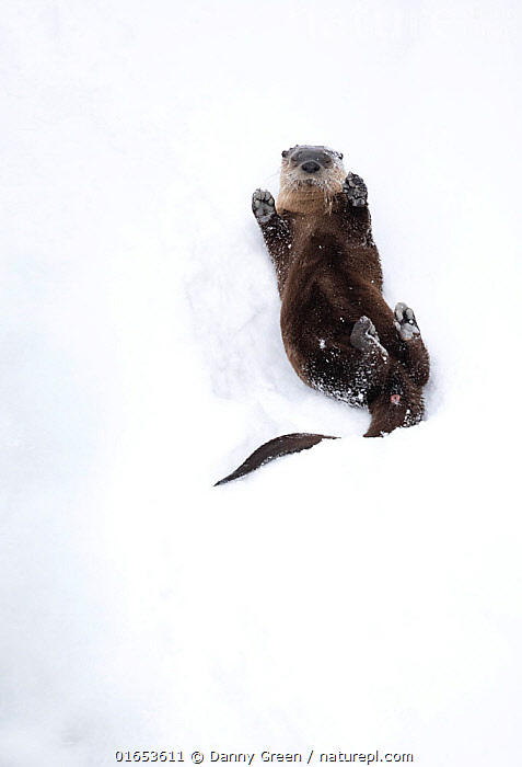 North American river otter (Lontra canadensis) on back, rolling on snow bank. Yellowstone National Park, USA, January.  ,  Animal,Wildlife,Vertebrate,Mammal,Carnivore,Mustelid,Otter,Canadian otter,American,Animalia,Animal,Wildlife,Vertebrate,Mammalia,Mammal,Carnivora,Carnivore,Mustelidae,Mustelid,Lontra,Otter,Lontra canadensis,Canadian otter,North American River Otter,Northern river otter,River otter,Lutra canadensis,Rolling,Lying down,Lying On Back,Cute,Adorable,North America,USA,Western USA,Copy Space,Snow,Reserve,Protected area,National Park,Negative space,Yellowstone National Park,American,United States of America,  ,  Danny Green