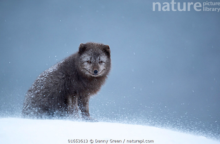 Arctic fox (Vulpes lagopus) resting in snow. Hornstrandir Nature Reserve, Iceland, February.  ,  Animal,Wildlife,Vertebrate,Mammal,Carnivore,Canid,True fox,Arctic fox,Animalia,Animal,Wildlife,Vertebrate,Mammalia,Mammal,Carnivora,Carnivore,Canidae,Canid,Vulpes,True fox,Vulpini,Caninae,Vulpes lagopus,Arctic fox,Polar fox,Blue fox,Ice fox,White fox,Alopex lagopus,Canis lagopus,Sitting,Resting,Rest,Temperature,Cold,Facial Expression,Smiling,Europe,Northern Europe,North Europe,Nordic Countries,Scandinavia,Iceland,Copy Space,Snow,Weather,Snowing,Snowfall,Winter,Reserve,Protected area,Eye contact,Direct Gaze,Negative space,Looking,Hornstrandir Nature Reserve,  ,  Danny Green