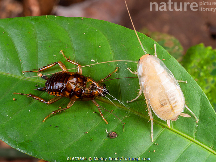 Cockroach ecdysis. This cockroach nymph recently emerged from its old skin. It is soft and vulnerable while the new integument is hardening. Yasuni National Park, Ecuador, November 2018.  ,  Animal,Wildlife,Arthropod,Insect,Neoptera,Cockroach,Animalia,Animal,Wildlife,Hexapoda,Arthropod,Invertebrate,Hexapod,Arthropoda,Insecta,Insect,Dictyoptera,Neoptera,Pterygota,Cockroach,Latin America,South America,Ecuador,Rainforest,Tropical rainforest,Reserve,Forest,Moult,Protected area,National Park,South American National Parks,Ecuadorian National Parks,Yasuni National Park,  ,  Morley Read