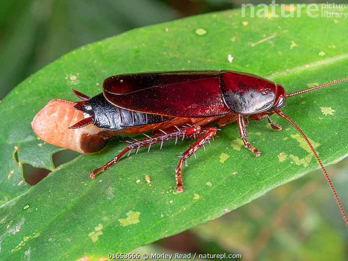 Cockroach female extruding an ootheca or egg case. In the rainforest, Yasuni National Park, Ecuador, July 2020.  ,  Animal,Wildlife,Arthropod,Insect,Neoptera,Cockroach,Animalia,Animal,Wildlife,Hexapoda,Arthropod,Invertebrate,Hexapod,Arthropoda,Insecta,Insect,Dictyoptera,Neoptera,Pterygota,Cockroach,Latin America,South America,Ecuador,Animal Eggs,Egg,Eggs,Rainforest,Tropical rainforest,Reserve,Forest,Protected area,National Park,South American National Parks,Ecuadorian National Parks,Yasuni National Park,  ,  Morley Read