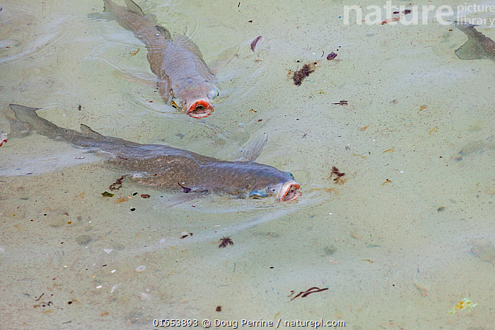 Striped mullet (Mugil cephalus), two feeding by surface skimming. Sand Island, Midway Atoll National Wildlife Refuge, Papahanaumokuakea Marine National Monument, Northwest Hawaiian Islands, USA.  ,  Animal,Wildlife,Vertebrate,Ray-finned fish,Mullets,Black Mullet,Animalia,Animal,Wildlife,Vertebrate,Actinopterygii,Ray-finned fish,Osteichthyes,Bony fish,Fish,Mugiliformes,Mugilidae,Mullets,Grey mullets,Mugil,Mugil cephalus,Black Mullet,Black True Mullet,Bright Mullet,Bully Mullet,Callifaver Mullet,Common Grey Mullet,Common Mullet,Flathead Greymullet,Flathead Grey Mullet,Flathead Mullet,Grey Mullet,Haarder,Hardgut Mullet,Mangrove Mullet,Mullet,River Mullet,Sea Mullet,Springer,Mugil albula,Mugil japonicus,Mugil lineatus,Two,Tropical,Ocean,Pacific Ocean,Marine,Water Surface,Water,Feeding,Reserve,Saltwater,Protected area,National Monument,UNESCO World Heritage Site,Pacific Islands,Two animals,Midway,Midway Atoll,Kuaihelani,Papahanaumokuakea Marine National Monument,  ,  Doug Perrine