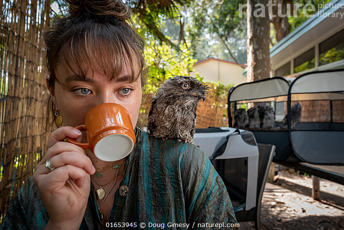 Wildlife rescuer and carer drinking cup of coffee with rescued Tawny frogmouth (Podargus strigoides) chick sitting on her shoulder, others in cage in background. Pearl Beach, New South Wales, Australia. December 2019. Model released. Editorial use only.  ,  Animal,Wildlife,Vertebrate,Bird,Birds,Frogmouth,Tawny frogmouth,Animalia,Animal,Wildlife,Vertebrate,Aves,Bird,Birds,Caprimulgiformes,Podargidae,Frogmouth,Podargus,Podargus strigoides,Tawny frogmouth,Freckled frogmouth,Tawny shouldered frogmouth,Mopoke,Night hawk,People,Woman,Australasia,Australia,New South Wales,Portrait,Young Animal,Baby,Chick,Drinking Vessel,Cup,Cups,Drinking,Conservation,Animal rehabilitation,Rehabilitation,Wildlife conservation,Animal Care,  ,  Doug Gimesy