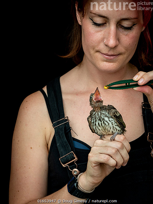 Wildlife rescuer and carer feeding Australasian figbird (Sphecotheres vieilloti) chick using tweezers. Chick fell from nest and was taken to a vet by a member of the public. Woy Woy Bay, New South Wales, Australia. December 2020. Model released. Editorial use only.  ,  Animal,Wildlife,Vertebrate,Bird,Birds,Songbird,Old world oriole,Figbird,Southern Figbird,Animalia,Animal,Wildlife,Vertebrate,Aves,Bird,Birds,Passeriformes,Songbird,Passerine,Oriolidae,Old world oriole,Oriole,Sphecotheres,Figbird,People,Woman,Australasia,Australia,New South Wales,Portrait,Young Animal,Baby,Chick,Feeding,Conservation,Animal rehabilitation,Rehabilitation,Wildlife conservation,Southern Figbird,Animal Care,  ,  Doug Gimesy