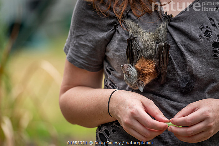 Grey-headed flying-fox (Pteropus poliocephalus), rescued bat hanging on shirt of wildlife rescuer and carer. Somersby, New South Wales, Australia. December 2019. Model released.  ,  Animal,Wildlife,Vertebrate,Mammal,Bat,Mega bat,Flying fox,Grey headed flying fox,Animalia,Animal,Wildlife,Vertebrate,Mammalia,Mammal,Chiroptera,Bat,Pteropodidae,Mega bat,Megabat,Megachiroptera,Pteropus,Flying fox,Pteropus poliocephalus,Grey headed flying fox,Hanging,Resting,Rest,People,Woman,Australasia,Australia,New South Wales,Conservation,Animal rehabilitation,Rehabilitation,Wildlife conservation,Animal Care,Endangered species,threatened,Vulnerable  ,  Doug Gimesy