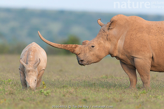 White rhinoceros (Ceratotherium simum) with unusually shaped horn, Solio Game Reserve, Laikipia, Kenya. September.  ,  Animal,Wildlife,Vertebrate,Mammal,Odd toed ungulate,Rhinoceros,White Rhinoceros,Animalia,Animal,Wildlife,Vertebrate,Mammalia,Mammal,Perissodactyla,Odd toed ungulate,Rhinocerotidae,Rhinoceros,Rhino,Ceratotherium,Ceratotherium simum,Square-lipped Rhinoceros,Length,Long,Lengthy,Africa,East Africa,Kenya,Young Animal,Baby,Baby Mammal,Calf,Feeding,Grazing,Reserve,Family,Mother baby,Mother,White Rhinoceros,Protected area,Horn,Parent baby,Game reserve,Laikipia,White Rhino,Critically endangered,Endangered species,Threatened  ,  Tui De Roy