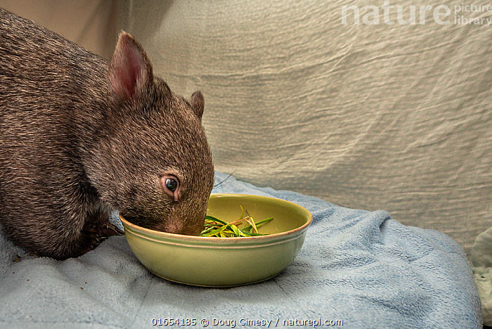 Bare-nosed wombat (Vombatus ursinus) female baby age 9-months, orphaned and rescued baby called Beatrice, in her cot, feeding on some grass and dirt. Temporarily captive, until old enough to be released. Preston, Victoria, Australia. July, 2020. Editorial use only.  ,  Animal,Wildlife,Vertebrate,Mammal,Marsupial,Wombat,Common wombat,Animalia,Animal,Wildlife,Vertebrate,Mammalia,Mammal,Marsupialia,Marsupial,Vombatidae,Wombat,Vombatus,Vombatus ursinus,Common wombat,Vombatus fossor,Vombatus fuscus,Vombatus wombat,Rescue,Rescues,Rescuing,Saving,Australasia,Australia,Victoria,Young Animal,Baby,Baby Mammal,Joey,Joeys,Plant,Grass Family,Grass,Grasses,Equipment,Utensil,Bowl,Furnishing,Furniture,Sleeping Furniture,Crib,Cot,Cots,Cribs,Building,Residential Structure,Apartment,Apartments,Flats,Soil,Dirt,Indoors,Feeding,Conservation,Animal rehabilitation,Rehabilitation,Wildlife conservation,Animal orphan,Orphan,Animal Care,Animal Rescue,Animal rescue,Wildlife rescue,Covid lockdown,  ,  Doug Gimesy