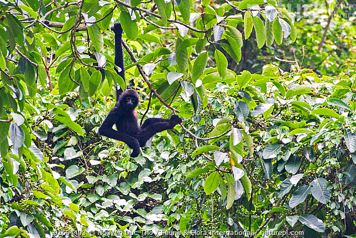 Cao Vit gibbon (Nomascus nasutus) male hanging from rainforest tree, Vietnam. Critically endangered species, rediscovered in 2002, found only in northern Vietnam and the adjacent region of China, with a total population estimated at around 135 individuals. EDITORIAL USE ONLY. All uses require clearance.  ,  Animal,Wildlife,Vertebrate,Mammal,Gibbon,Crested gibbons,Cao-vit gibbon,Animalia,Animal,Wildlife,Vertebrate,Mammalia,Mammal,Primate,Primates,Hylobatidae,Gibbon,Lesser Ape,Hominoidea,Nomascus,Crested gibbons,Hanging,Endangered,Colour,Black,Asia,South East Asia,Vietnam,Male Animal,Plant,Leaf,Foliage,Tree,Rainforest,Forest,Critically Endangered,Nomascus nasutus,Cao-vit gibbon,  ,  Nguyen Duc Tho / Fauna & Flora International