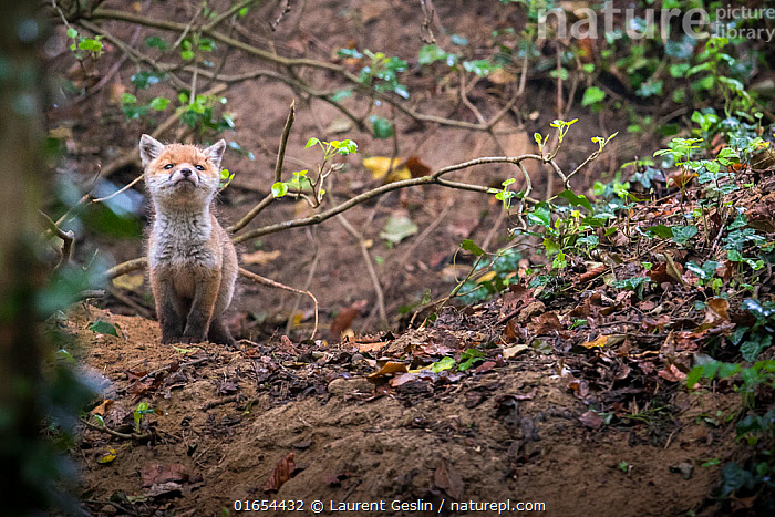 Red fox (Vulpes vulpes) young male cub near entrance to earth in woodland, Switzerland.  ,  Animal,Wildlife,Vertebrate,Mammal,Carnivore,Canid,True fox,Red fox,Animalia,Animal,Wildlife,Vertebrate,Mammalia,Mammal,Carnivora,Carnivore,Canidae,Canid,Vulpes,True fox,Vulpini,Caninae,Vulpes vulpes,Red fox,Curiosity,Front View,Young Animal,Baby,Baby Mammal,Cub,Male Animal,Animal Den,Den,Burrow,Burrows,Exploration,Woodland,Forest,  ,  Laurent Geslin