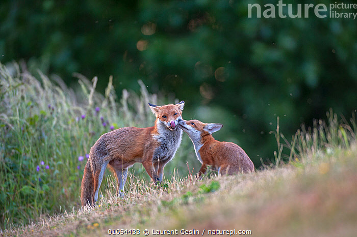 Red fox (Vulpes vulpes) cub in pasture asking vixen for food, England.  ,  Animal,Wildlife,Vertebrate,Mammal,Carnivore,Canid,True fox,Red fox,Animalia,Animal,Wildlife,Vertebrate,Mammalia,Mammal,Carnivora,Carnivore,Canidae,Canid,Vulpes,True fox,Vulpini,Caninae,Vulpes vulpes,Red fox,Europe,Western Europe,UK,Great Britain,England,Agricultural Land,Cultivated Land,Field,Summer,Animal Behaviour,Family,Mother baby,Behaviour,Mother,Farmland,Begging,Parent baby,Behavioural,  ,  Laurent Geslin