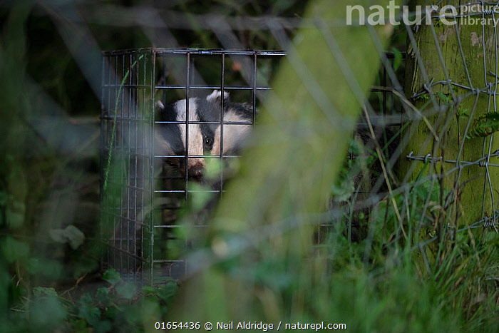 A European badger (Meles meles) in a cage trap before being vaccinated against TB. North Somerset, UK. Badger vaccination programmes are being carried out in England as a means of controlling the spread of TB between badgers and cattle, and as a viable alternative to the controversial government-sanctioned cull of badgers.  ,  Animal,Wildlife,Vertebrate,Mammal,Carnivore,Mustelid,Badger,Animalia,Animal,Wildlife,Vertebrate,Mammalia,Mammal,Carnivora,Carnivore,Mustelidae,Mustelid,Meles,Badger,Meles meles,Eurasian Badger,Protection,Research,Researching,Trapped,Europe,Western Europe,UK,Great Britain,England,Somerset,Cage,Cages,Equipment,Trap,Traps,Environment,Environmental Issues,Captivity,Science,Conservation,Disease,Eye contact,Direct Gaze,Agricultural issues,Caged,Protector,Controversial,Looking,  ,  Neil Aldridge