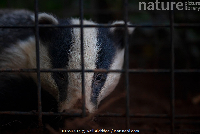 A European badger (Meles meles) in a cage trap before being vaccinated against TB. North Somerset, UK. Badger vaccination programmes are being carried out in England as a means of controlling the spread of TB between badgers and cattle, and as a viable alternative to the controversial government-sanctioned cull of badgers.  ,  Animal,Wildlife,Vertebrate,Mammal,Carnivore,Mustelid,Badger,Animalia,Animal,Wildlife,Vertebrate,Mammalia,Mammal,Carnivora,Carnivore,Mustelidae,Mustelid,Meles,Badger,Meles meles,Eurasian Badger,Protection,Research,Researching,Trapped,Europe,Western Europe,UK,Great Britain,England,Somerset,Close Up,Cage,Cages,Equipment,Trap,Traps,Environment,Environmental Issues,Captivity,Science,Conservation,Disease,Agricultural issues,Caged,Protector,Controversial,  ,  Neil Aldridge