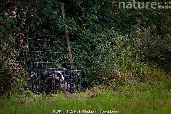 A European badger (Meles meles) in a cage trap before being vaccinated against TB. North Somerset, UK. Badger vaccination programmes are being carried out in England as a means of controlling the spread of TB between badgers and cattle, and as a viable alternative to the controversial government-sanctioned cull of badgers.  ,  Animal,Wildlife,Vertebrate,Mammal,Carnivore,Mustelid,Badger,Animalia,Animal,Wildlife,Vertebrate,Mammalia,Mammal,Carnivora,Carnivore,Mustelidae,Mustelid,Meles,Badger,Meles meles,Eurasian Badger,Protection,Research,Researching,Trapped,Europe,Western Europe,UK,Great Britain,England,Somerset,Cage,Cages,Equipment,Trap,Traps,Environment,Environmental Issues,Captivity,Science,Conservation,Disease,Agricultural issues,Caged,Protector,Controversial,  ,  Neil Aldridge