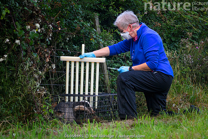 A vaccinator preparing to inoculate a European badger (Meles meles) against TB uses plastic wickets to restrict the animal's movement in a cage trap. North Somerset, UK. Badger vaccination programmes are being carried out in England as a means of controlling the spread of TB between badgers and cattle, and as a viable alternative to the controversial government-sanctioned cull of badgers.  ,  Wickets,,Animal,Wildlife,Vertebrate,Mammal,Carnivore,Mustelid,Badger,Animalia,Animal,Wildlife,Vertebrate,Mammalia,Mammal,Carnivora,Carnivore,Mustelidae,Mustelid,Meles,Badger,Meles meles,Eurasian Badger,People,Woman,Protection,Research,Researching,Trapped,Europe,Western Europe,UK,Great Britain,England,Somerset,Cage,Cages,Equipment,Trap,Traps,Medicine,Vaccine,Surgical Equipment,Medical Instrument,Syringe,Butterfly Needle,Butterfly Needles,Hypodermic Needle,Hypodermic Needles,Hypodermic Syringe,Hypodermic Syringes,Injector,Injectors,Needle,Needles,Syringes,Surgical Needle,Surgical Needles,Environment,Environmental Issues,Captivity,Science,Conservation,Disease,Agricultural issues,Caged,Protector,Controversial,  ,  Neil Aldridge