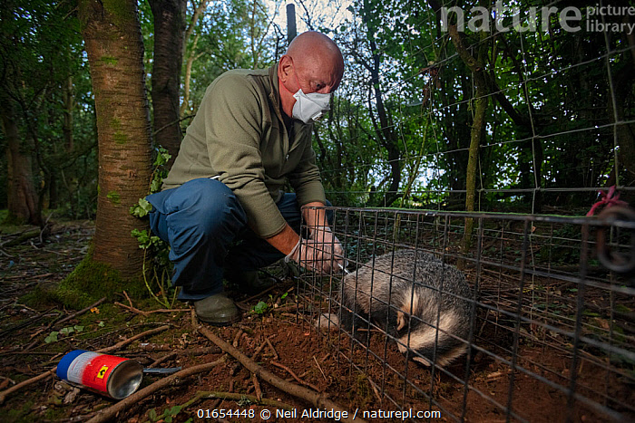 A vaccinator inoculates a sleeping European badger (Meles meles) against TB. North Somerset, UK. Badger vaccination programmes are being carried out in England as a means of controlling the spread of TB between badgers and cattle, and as a viable alternative to the controversial government-sanctioned cull of badgers.  ,  Animal,Wildlife,Vertebrate,Mammal,Carnivore,Mustelid,Badger,Animalia,Animal,Wildlife,Vertebrate,Mammalia,Mammal,Carnivora,Carnivore,Mustelidae,Mustelid,Meles,Badger,Meles meles,Eurasian Badger,Resting,Rest,Sleeping,People,Man,Protection,Research,Researching,Trapped,Europe,Western Europe,UK,Great Britain,England,Somerset,Cage,Cages,Equipment,Trap,Traps,Medicine,Vaccine,Clothing,Outerwear,Glove,Gloves,Environment,Environmental Issues,Captivity,Science,Conservation,Disease,Agricultural issues,Caged,Protector,Controversial,  ,  Neil Aldridge