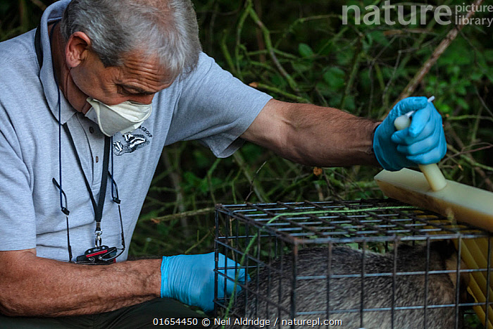 A vaccinator inoculates a European badger (Meles meles) against TB. North Somerset, UK. Badger vaccination programmes are being carried out in England as a means of controlling the spread of TB between badgers and cattle, and as a viable alternative to the controversial government-sanctioned cull of badgers.  ,  Wickets,,Animal,Wildlife,Vertebrate,Mammal,Carnivore,Mustelid,Badger,Animalia,Animal,Wildlife,Vertebrate,Mammalia,Mammal,Carnivora,Carnivore,Mustelidae,Mustelid,Meles,Badger,Meles meles,Eurasian Badger,People,Man,Protection,Research,Researching,Trapped,Europe,Western Europe,UK,Great Britain,England,Somerset,Cage,Cages,Equipment,Trap,Traps,Clothing,Outerwear,Glove,Gloves,Environment,Environmental Issues,Captivity,Science,Conservation,Disease,Agricultural issues,Caged,Protector,Controversial,  ,  Neil Aldridge
