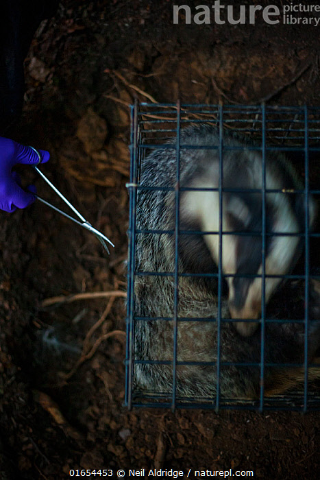 A European badger (Meles meles) in a cage trap has its fur cut by scissors after being vaccinated against TB. North Somerset, UK. The clipped area will be sprayed with a dye to indicate that the badger has been vaccinated in case it is trapped again. Badger vaccination programmes are being carried out in England as a means of controlling the spread of TB between badgers and cattle, and as a viable alternative to the controversial government-sanctioned cull of badgers.  ,  Animal,Wildlife,Vertebrate,Mammal,Carnivore,Mustelid,Badger,Animalia,Animal,Wildlife,Vertebrate,Mammalia,Mammal,Carnivora,Carnivore,Mustelidae,Mustelid,Meles,Badger,Meles meles,Eurasian Badger,Cutting,Trimming,Clipping,Trimmed,Trims,Protection,Research,Researching,Trapped,Europe,Western Europe,UK,Great Britain,England,Somerset,Cage,Cages,Equipment,Trap,Traps,Work Tool,Tool,Tools,Work Tools,Shears,Shear,Scissors,Clothing,Outerwear,Glove,Gloves,Environment,Environmental Issues,Captivity,Science,Conservation,Disease,Agricultural issues,Caged,Protector,Controversial,  ,  Neil Aldridge
