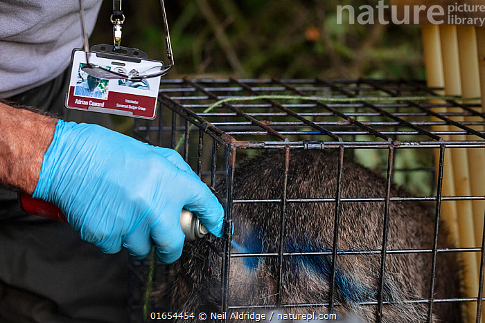 A European badger (Meles meles) is sprayed with blue dye in a cage trap after being vaccinated against TB. North Somerset, UK. The mark indicates that the badger has already been vaccinated in case it is trapped again. Badger vaccination programmes are being carried out in England as a means of controlling the spread of TB between badgers and cattle, and as a viable alternative to the controversial government-sanctioned cull of badgers.  ,  Animal,Wildlife,Vertebrate,Mammal,Carnivore,Mustelid,Badger,Animalia,Animal,Wildlife,Vertebrate,Mammalia,Mammal,Carnivora,Carnivore,Mustelidae,Mustelid,Meles,Badger,Meles meles,Eurasian Badger,People,Protection,Research,Researching,Trapped,Europe,Western Europe,UK,Great Britain,England,Somerset,Hand,Cage,Cages,Equipment,Trap,Traps,Clothing,Outerwear,Glove,Gloves,Environment,Environmental Issues,Captivity,Science,Conservation,Disease,Agricultural issues,Caged,Protector,Controversial,  ,  Neil Aldridge