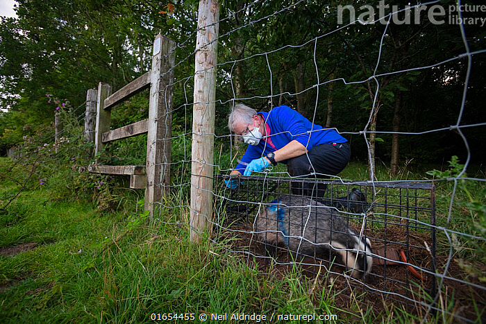 A European badger (Meles meles) being released from a cage trap after vaccination against TB. North Somerset, UK. The blue spray on its side indicates the badger has been vaccinated in case it is trapped again. Badger vaccination programmes are being carried out in England as a means of controlling the spread of TB between badgers and cattle, and as a viable alternative to the controversial government-sanctioned cull of badgers.  ,  Animal,Wildlife,Vertebrate,Mammal,Carnivore,Mustelid,Badger,Animalia,Animal,Wildlife,Vertebrate,Mammalia,Mammal,Carnivora,Carnivore,Mustelidae,Mustelid,Meles,Badger,Meles meles,Eurasian Badger,People,Woman,Protection,Research,Researching,Trapped,Europe,Western Europe,UK,Great Britain,England,Somerset,Cage,Cages,Equipment,Trap,Traps,Clothing,Outerwear,Glove,Gloves,Environment,Environmental Issues,Captivity,Science,Conservation,Disease,Agricultural issues,Caged,Protector,Controversial,  ,  Neil Aldridge