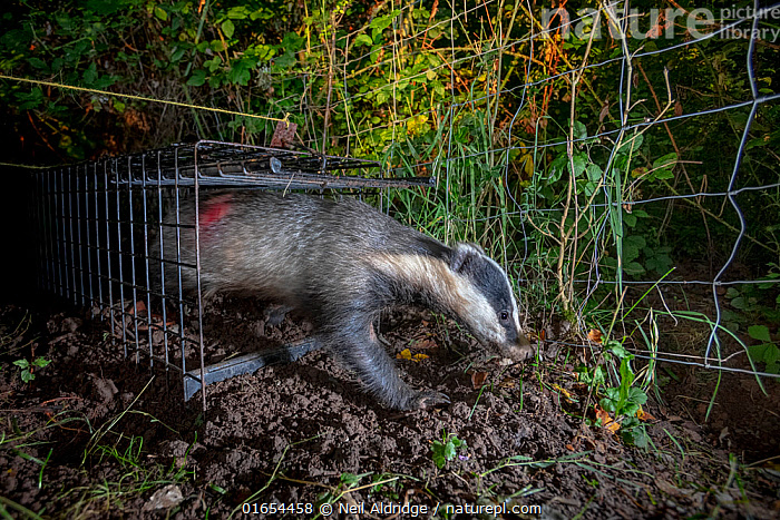 A European badger (Meles meles) leaves a cage trap after being vaccinated against TB. North Somerset, UK. The red spray on its side indicates the badger has been vaccinated in case it is trapped again. Badger vaccination programmes are being carried out in England as a means of controlling the spread of TB between badgers and cattle, and as a viable alternative to the controversial government-sanctioned cull of badgers.  ,  Animal,Wildlife,Vertebrate,Mammal,Carnivore,Mustelid,Badger,Animalia,Animal,Wildlife,Vertebrate,Mammalia,Mammal,Carnivora,Carnivore,Mustelidae,Mustelid,Meles,Badger,Meles meles,Eurasian Badger,Releasing,Protection,Research,Researching,Europe,Western Europe,UK,Great Britain,England,Somerset,Cage,Cages,Equipment,Trap,Traps,Environment,Environmental Issues,Science,Conservation,Disease,Agricultural issues,Protector,Controversial,  ,  Neil Aldridge