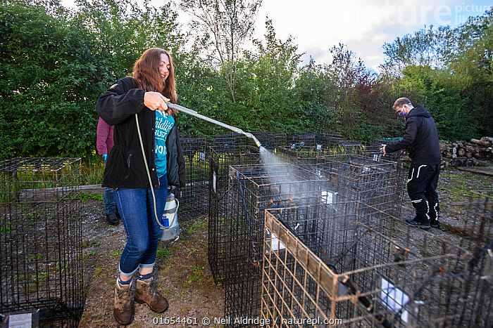 Cages used for trapping European badgers (Meles meles) for vaccination against TB are sprayed with disinfectant. North Somerset, UK. Badger vaccination programmes are being carried out in England as a means of controlling the spread of TB between badgers and cattle, and as a viable alternative to the controversial government-sanctioned cull of badgers.  ,  Animal,Wildlife,Vertebrate,Mammal,Carnivore,Mustelid,Badger,Animalia,Animal,Wildlife,Vertebrate,Mammalia,Mammal,Carnivora,Carnivore,Mustelidae,Mustelid,Meles,Badger,Meles meles,Eurasian Badger,Cleaning,Spraying,People,Woman,Protection,Research,Researching,Europe,Western Europe,UK,Great Britain,England,Somerset,Cage,Cages,Equipment,Trap,Traps,Environment,Environmental Issues,Science,Conservation,Disease,Agricultural issues,Protector,Controversial,  ,  Neil Aldridge