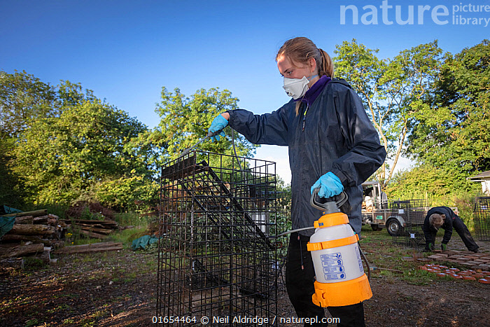 Cages used for trapping European badgers (Meles meles) for vaccination against TB are sprayed with disinfectant. North Somerset, UK. Badger vaccination programmes are being carried out in England as a means of controlling the spread of TB between badgers and cattle, and as a viable alternative to the controversial government-sanctioned cull of badgers.  ,  Animal,Wildlife,Vertebrate,Mammal,Carnivore,Mustelid,Badger,Animalia,Animal,Wildlife,Vertebrate,Mammalia,Mammal,Carnivora,Carnivore,Mustelidae,Mustelid,Meles,Badger,Meles meles,Eurasian Badger,Cleaning,Spraying,People,Woman,Protection,Research,Researching,Europe,Western Europe,UK,Great Britain,England,Somerset,Cage,Cages,Equipment,Trap,Traps,Clothing,Outerwear,Glove,Gloves,Environment,Environmental Issues,Science,Conservation,Disease,Agricultural issues,Protector,Controversial,  ,  Neil Aldridge