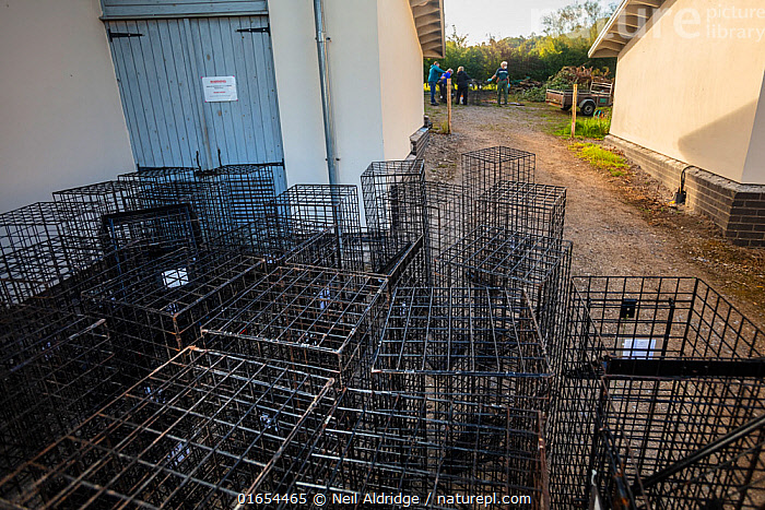 Cages used for trapping European badgers (Meles meles) for vaccination against TB are stacked up to be cleaned. North Somerset, UK. Badger vaccination programmes are being carried out in England as a means of controlling the spread of TB between badgers and cattle, and as a viable alternative to the controversial government-sanctioned cull of badgers.  ,  Animal,Wildlife,Vertebrate,Mammal,Carnivore,Mustelid,Badger,Animalia,Animal,Wildlife,Vertebrate,Mammalia,Mammal,Carnivora,Carnivore,Mustelidae,Mustelid,Meles,Badger,Meles meles,Eurasian Badger,People,Research,Researching,Europe,Western Europe,UK,Great Britain,England,Somerset,Cage,Cages,Equipment,Trap,Traps,Environment,Environmental Issues,Science,Conservation,Disease,Agricultural issues,Controversial,  ,  Neil Aldridge