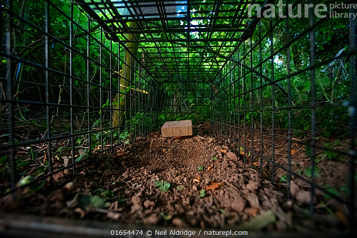 A cage trap set to catch a European badger (Meles meles) as part of a programme to vaccinate badgers against TB in North Somerset, UK. The trap is baited with peanuts. Badger vaccination programmes are being carried out in England as a means of controlling the spread of TB between badgers and cattle, and as a viable alternative to the controversial government-sanctioned cull of badgers.  ,  Animal,Wildlife,Vertebrate,Mammal,Carnivore,Mustelid,Badger,Animalia,Animal,Wildlife,Vertebrate,Mammalia,Mammal,Carnivora,Carnivore,Mustelidae,Mustelid,Meles,Badger,Meles meles,Eurasian Badger,Waiting,Research,Researching,Open,Inside,Europe,Western Europe,UK,Great Britain,England,Somerset,Cage,Cages,Equipment,Trap,Traps,Metalic,Metals,Environment,Environmental Issues,Science,Conservation,Disease,Agricultural issues,Controversial,  ,  Neil Aldridge