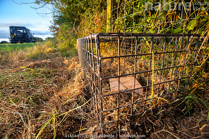 A cage trap is set to catch a European badger (Meles meles) as part of a programme to vaccinate badgers against TB in North Somerset, UK. Badger vaccination programmes are being carried out in England as a means of controlling the spread of TB between badgers and cattle, and as a viable alternative to the controversial government-sanctioned cull of badgers.  ,  Animal,Wildlife,Vertebrate,Mammal,Carnivore,Mustelid,Badger,Animalia,Animal,Wildlife,Vertebrate,Mammalia,Mammal,Carnivora,Carnivore,Mustelidae,Mustelid,Meles,Badger,Meles meles,Eurasian Badger,Research,Researching,Europe,Western Europe,UK,Great Britain,England,Somerset,Cage,Cages,Equipment,Trap,Traps,Land Vehicle,Motor Vehicle,Environment,Environmental Issues,Science,Conservation,Disease,Agricultural issues,Controversial,Car,Automobile,  ,  Neil Aldridge