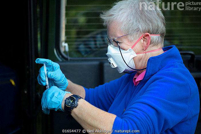 A vaccinator prepares a syringe before vaccinating a European badger (Meles meles) against TB. North Somerset, UK. . Badger vaccination programmes are being carried out in England as a means of controlling the spread of TB between badgers and cattle, and as a viable alternative to the controversial government-sanctioned cull of badgers.  ,  Animal,Wildlife,Vertebrate,Mammal,Carnivore,Mustelid,Badger,Animalia,Animal,Wildlife,Vertebrate,Mammalia,Mammal,Carnivora,Carnivore,Mustelidae,Mustelid,Meles,Badger,Meles meles,Eurasian Badger,People,Woman,Protection,Research,Researching,Europe,Western Europe,UK,Great Britain,England,Somerset,Equipment,Medicine,Vaccine,Surgical Equipment,Medical Instrument,Syringe,Butterfly Needle,Butterfly Needles,Hypodermic Needle,Hypodermic Needles,Hypodermic Syringe,Hypodermic Syringes,Injector,Injectors,Needle,Needles,Syringes,Surgical Needle,Surgical Needles,Clothing,Outerwear,Glove,Gloves,Environment,Environmental Issues,Science,Conservation,Disease,Agricultural issues,Protector,Controversial,  ,  Neil Aldridge