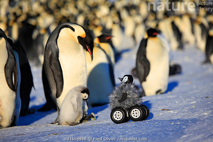 Remote controlled camera disguised as penguin chick investigating Emperor penguin colony, Dumont d'Urville Station, Antarctica.  ,  Animal,Wildlife,Vertebrate,Bird,Birds,Penguin,Emperor penguin,Animalia,Animal,Wildlife,Vertebrate,Aves,Bird,Birds,Sphenisciformes,Penguin,Seabird,Spheniscidae,Aptenodytes,Aptenodytes forsteri,Emperor penguin,Group Of Animals,Animal Colony,Group,Antarctica,Antarctic,Polar,Young Animal,Baby,Chick,Robot,Robots,Flightless,camera,filming,disguise  ,  Fred Olivier