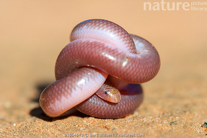 Southern blind snake (Anilios australis) coiled into ball on sand. Stirling Range National Park, Western Australia. November.  ,  Animal,Wildlife,Vertebrate,Reptile,Squamate,Blind snakes,Snake,Animalia,Animal,Wildlife,Vertebrate,Reptilia,Reptile,Squamata,Squamate,Typhlopidae,Blind snakes,Typical blind snakes,Hiding,Colour,Pink,Tied Knot,Australasia,Australia,Western Australia,Hide And Seek,Hide And Seek Game,Hide And Seek Games,Hide-And-Seek,Hide-And-Seek Game,Hide-And-Seek Games,Reserve,South West Australia,Biodiversity hotspots,Biodiversity hotspot,Protected area,National Park,Coiled,Curled up,Snake,Stirling Range National Park,Anilios,Anilios australis,Southern blind snake,  ,  Bert Willaert