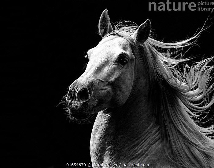 RF - Andalusian horse stallion running with mane flowing, portrait. Germany. (This image may be licensed either as rights managed or royalty free.)  ,  Equus ferus caballus,Equus caballus,Plain Background,Black Background,B/W,Monochromatic,Portrait,Animal,Male Animal,Stallion,Stallions,Mane,Domestic animal,Domestic Horse,Andalusian horse,Domesticated,Equus ferus caballus,Equus caballus,Horse,Mammal,Nostril,  ,  Carol Walker
