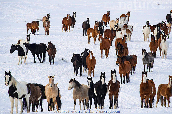 Mustang herd standing in snow. Black Hills Wild Horse Sanctuary, South Dakota, USA. January 2017.  ,  Equus ferus caballus,Equus caballus,American,Standing,Variation,Group Of Animals,Herd,Group,Large Group,Preserved,Preservation,North America,USA,Midwest,South Dakota,Animal,Snow,Domestic animal,Domestic Horse,Domesticated,Equus ferus caballus,Equus caballus,Horse,Rescue Centre,American,Mammal,Mustang,United States of America,Wild living horse,  ,  Carol Walker