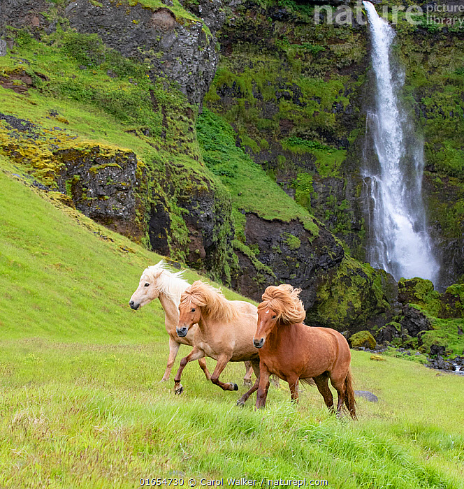 RF - Icelandic horses, three running through grassland, waterfall in background. Southern Iceland. June 2018. (This image may be licensed either as rights managed or royalty free.)  ,  Equus ferus caballus,Equus caballus,Galloping,Canter,Cantering,Canters,Gallop,Gallops,Running,Europe,Northern Europe,North Europe,Nordic Countries,Scandinavia,Iceland,Animal,Flowing Water,Waterfall,Grassland,Freshwater,Water,Domestic animal,Domestic Horse,Icelandic horse,Domesticated,Equus ferus caballus,Equus caballus,Horse,Moving,Mammal,Movement,,RF,Royalty free, RF6,  ,  Carol Walker