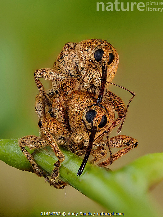 Acorn weevil (Curculio venosus) mating pair head on view on Oak twig, Hertfordshire, England, UK, June - Focus Stacked - Captive  ,  Animal,Wildlife,Arthropod,Insect,Beetle,Weevil,Curculioninae,Acorn weevil,Animalia,Animal,Wildlife,Hexapoda,Arthropod,Invertebrate,Hexapod,Arthropoda,Insecta,Insect,Coleoptera,Beetle,Endopterygota,Neoptera,Curculionoidae,Weevil,True weevil,Snout beetle,Cuculionoidea,Polyphaga,Curculio,Curculioninae,Curculio venosus,Acorn weevil,Rhynchaenus venosus,Europe,Western Europe,UK,Great Britain,England,Hertfordshire,Animal Behaviour,Reproduction,Mating Behaviour,Copulation,Male female pair,Belidae,Digital Focus Stacking,Focus stacking,  ,  Andy Sands