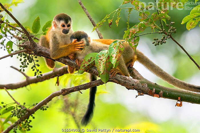 Black-crowned Central American squirrel monkey (Saimiri oerstedii) pair playing with each other, one with hand over eyes of other, Manuel Antonio National Park, Quepos, Costa Rica  ,  Animal,Wildlife,Vertebrate,Mammal,Monkey,Squirrel monkey,Black-crowned Central American Squirrel Monkey,Animalia,Animal,Wildlife,Vertebrate,Mammalia,Mammal,Primate,Primates,Cebidae,Monkey,New world monkeys,Saimiri,Squirrel monkey,Saimiri oerstedii,Black-crowned Central American Squirrel Monkey,Central American Squirrel Monkey,Red-backed Squirrel Monkey,Cute,Adorable,Two,Latin America,Central America,Costa Rica,Animal Behaviour,Playing,Reserve,Biodiversity hotspot,Protected area,National Park,Endangered species,threatened,Vulnerable  ,  David Pattyn