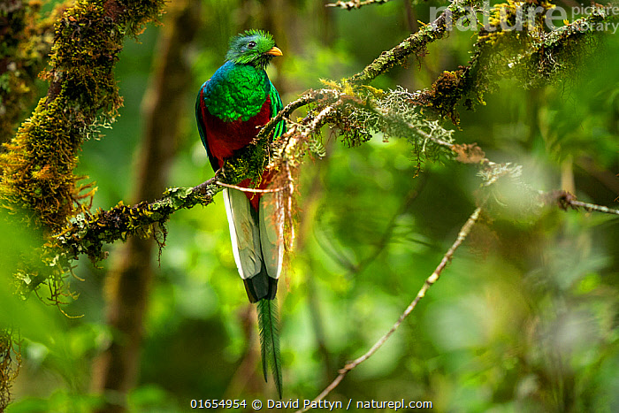 Resplendent quetzal (Pharomachrus mocinno) male perched Los Quetzales National Park, Savegre river valley, Costa Rica  ,  Animal,Wildlife,Vertebrate,Bird,Birds,Quetzal,Resplendent quetzal,Animalia,Animal,Wildlife,Vertebrate,Aves,Bird,Birds,Trogoniformes,Trogonidae,Pharomachrus,Quetzal,Pharomachrus mocinno,Resplendent quetzal,Northern quetzal,Magnificent quetzal,Latin America,Central America,Costa Rica,Male Animal,Reserve,Biodiversity hotspot,Protected area,National Park,  ,  David Pattyn