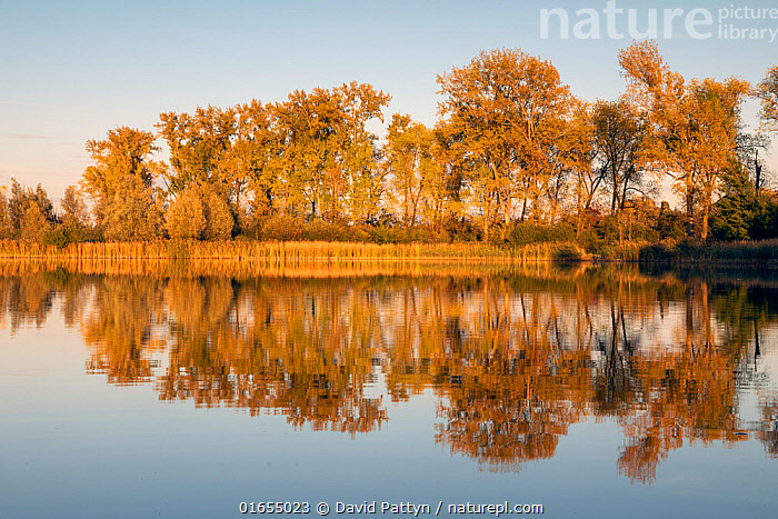 Fishpond landscape with Poplar (Populus sp.) at the edge in autmn colors. Valkenhorst Nature Reserve, Valkenswaard, The Netherlands, October.  ,  Plant,Vascular plant,Flowering plant,Rosid,Cottonwood tree,Plantae,Plant,Tracheophyta,Vascular plant,Magnoliopsida,Flowering plant,Angiosperm,Spermatophyte,Spermatophytina,Angiospermae,Malpighiales,Rosid,Dicot,Dicotyledon,Rosanae,Salicaceae,Populus,Cottonwood tree,Cottonwood,Europe,Western Europe,The Netherlands,Holland,Netherlands,Reflection,Autumn,Freshwater,Pond,Water,Reserve,Protected area,Tree,Trees  ,  David Pattyn