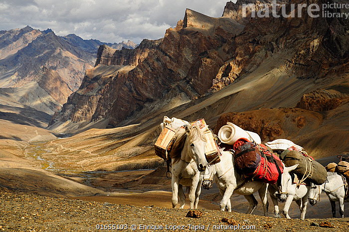 Caravan of horses climbing over the Singge La mountain pass at an altitude of 5010m. View of valley and Zanskar Mountains in background. Ladakh, India. September 2011.  ,  Group Of Animals,Group,Asia,Indian Subcontinent,India,High Angle View,Mountain,Valley,Valleys,Landscape,Transportation,High altitude,Jammu and Kashmir,Elevated view,Altitude,Ladakh,Zanskar,  ,  Enrique Lopez-Tapia
