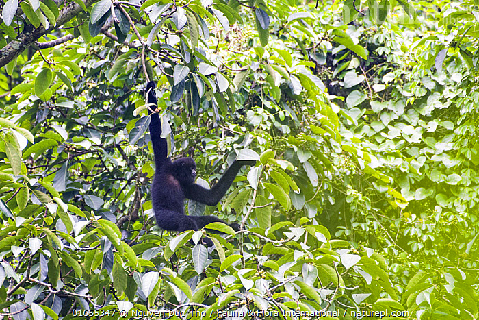 Cao vit gibbon (Nomascus nasutus) adult male in rainforest tree, Vietnam. Critically endangered species, rediscovered in 2002, found only in northern Vietnam and the adjacent region of China, with a total population estimated at around 135 individuals. EDITORIAL USE ONLY. All uses require clearance.  ,  Animal,Wildlife,Vertebrate,Mammal,Gibbon,Crested gibbons,Cao-vit gibbon,Animalia,Animal,Wildlife,Vertebrate,Mammalia,Mammal,Primate,Primates,Hylobatidae,Gibbon,Lesser Ape,Hominoidea,Nomascus,Crested gibbons,Hanging,Endangered,Colour,Black,Asia,South East Asia,Vietnam,Plant,Leaf,Foliage,Tree,Rainforest,Forest,Climbing,Brachiation,Critically Endangered,Nomascus nasutus,Cao-vit gibbon,  ,  Nguyen Duc Tho / Fauna & Flora International