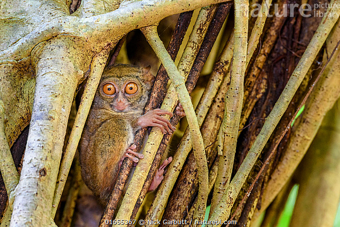 Spectral tarsier (Tarsius spectrum) in day-time roost tree (Ficus sp.). Tangkoko National Park, Sulawesi, Indonesia.  ,  Plant,Vascular plant,Flowering plant,Rosid,Fig,Plantae,Plant,Tracheophyta,Vascular plant,Magnoliopsida,Flowering plant,Angiosperm,Spermatophyte,Spermatophytina,Angiospermae,Rosales,Rosid,Dicot,Dicotyledon,Rosanae,Moraceae,Ficus,Fig,Fig tree,Resting,Rest,Asia,South East Asia,Indonesia,Nocturnal,Day,Reserve,Biodiversity hotspot,Sulawesi,Wallacea,Protected area,National Park,  ,  Nick Garbutt