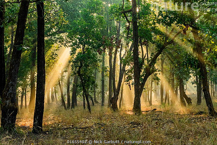 Early morning shafts of sunlight through Sal (Shorea robusta) forest. Bandhavgarh National Park, Madhya Pradesh, Central India.  ,  Plant,Vascular plant,Flowering plant,Rosid,Dipterocarp,Shorea tree,Plantae,Plant,Tracheophyta,Vascular plant,Magnoliopsida,Flowering plant,Angiosperm,Spermatophyte,Spermatophytina,Angiospermae,Malvales,Rosid,Dicot,Dicotyledon,Rosanae,Dipterocarpaceae,Dipterocarp,Shorea,Shorea tree,Asia,Indian Subcontinent,India,Sunlight,Beautiful,Habitat,Forest,Dawn,Madhya Pradesh,Natural Light,Shorea robusta,Sal,  ,  Nick Garbutt
