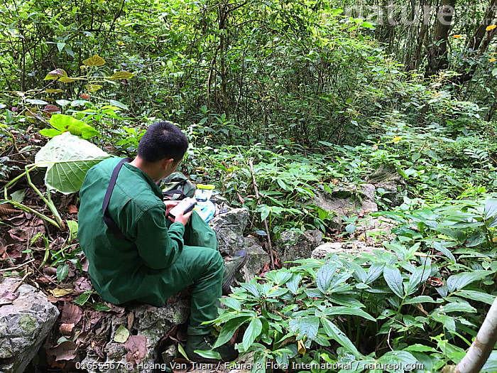 GMT (Gibbon Monitoring Team) engaged in gibbon monitoring activity. Cao vit gibbon Species & Habitat Conservation Area, Trung Khanh district, Cao Bang province, Vietnam.  Image suitable for small reproduction only. EDITORIAL USE. All uses require clearance.  ,  Animal,Wildlife,Vertebrate,Mammal,Gibbon,Crested gibbons,Cao-vit gibbon,Animalia,Animal,Wildlife,Vertebrate,Mammalia,Mammal,Primate,Primates,Hylobatidae,Gibbon,Lesser Ape,Hominoidea,Nomascus,Crested gibbons,People,Man,Research,Researching,Asia,South East Asia,Vietnam,Rainforest,Forest,Conservation,Monitoring,Nomascus nasutus,Cao-vit gibbon,  ,  Hoang Van Tuan / Fauna & Flora International