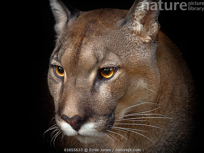 RF - Cougar (Puma concolor) captive, occurs in the Americas. Digitally manipulated - dark background made darker (This image may be licensed either as rights managed or royalty free.)  ,  Animal,Wildlife,Vertebrate,Mammal,Carnivore,Cat,Puma,Cougar,Animalia,Animal,Wildlife,Vertebrate,Mammalia,Mammal,Carnivora,Carnivore,Felidae,Cat,Puma,Puma concolor,Cougar,Mountain Lion,Portrait,Felis concolor,,RF,Royalty free, RF6,  ,  Ernie Janes